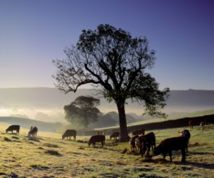 The cattle graze at Marshwood Vale Farm