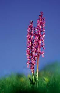Purple orchids at Marshwood Vale Farm