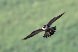 Peregrine falcons at Marshwood Vale Farm