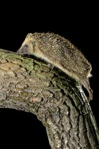 hedgehogs at Marshwood Vale Farm
