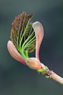 The buds of the large sycamore trees at Marshwood Vale Farm