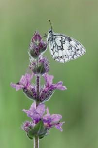 butterflies at Marshwood Vale Farm