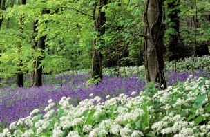 Ramsons, bluebells and host of other wildflowers at Marshwood Vale Farm