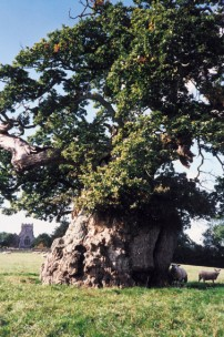 The ancient oak tree at Silton
