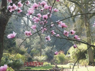 The magnoia trees at Abbotsbury Subtropical Garden
