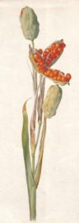 Fetid (or stinking) iris (Iris foetidissima). Sherborne,e