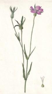 Corn cockle (Lychnis githago). Uploders,