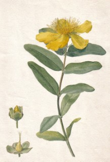 Large-flowered St John's wort,