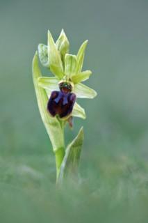 spider orchid,dorset coast