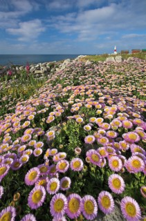 seaside daisies,dorset coast