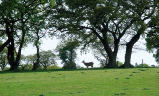 A male sika deer against a backdrop of some of Arne's impressive treess, Arne