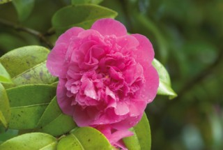 Prettily-frilled Camellia ,The Glade Garden, Ferndown