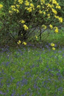 Azalea luteum',The Glade Garden, Ferndown