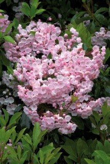 Evergreen Kalmia latifolia ,The Glade Garden, Ferndown