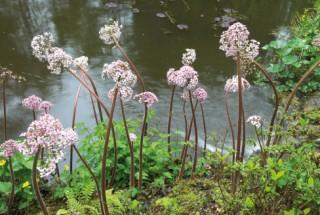 Darmera peltata, The Glade Garden, Ferndown
