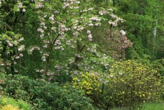 cherry blossom, The Glade Garden, Ferndown