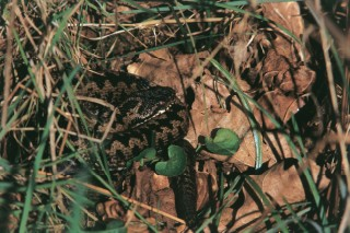 Male adder sun bathing