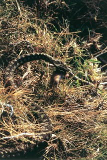 Male adder with prey