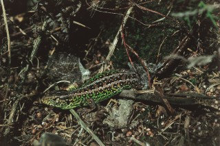 Sand lizard with freshly sloughed skin