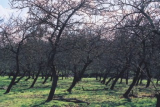 A typical orchard,netherbury