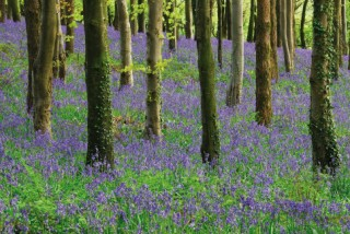 Bluebells in Dorset Copse