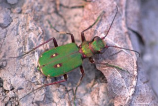 The green tiger beetle