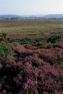 Heather in full bloom on Hartland Moor