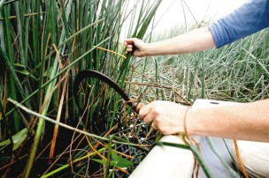 A sickle is used to cut the rushes on the river Stour
