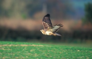 The common buzzard