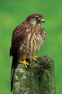 The kestrel