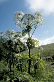 Giant hogweed overlooking the River Brit