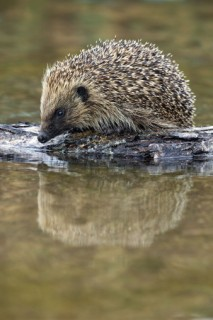 The Stour at Blandford - hedgehogs