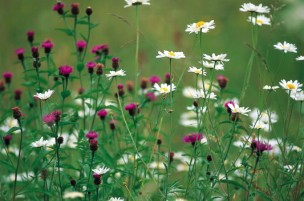 Ox-eye daisy and knapweed, Buckland Newton