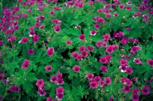 geranium 'Patricia', Buckland Newton