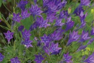 Triteleia in Garden at Monkton Wyld