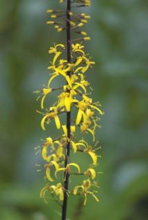 Kigulia przewalskii in Garden at Monkton Wyld
