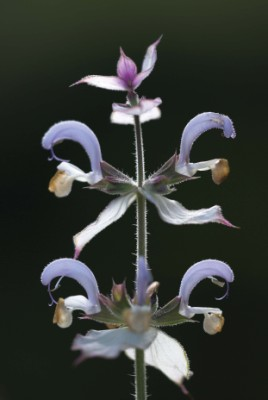 Salvia sclarea 'Alba', on close inspection delicately tinted