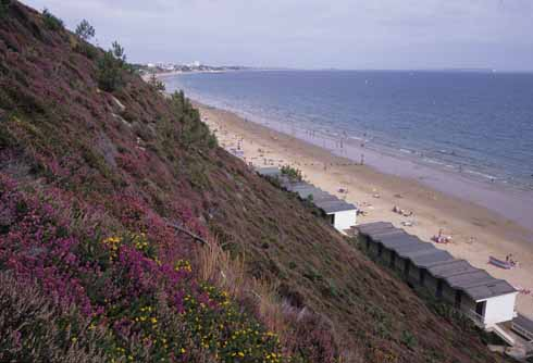 Heather and gorse in bloom on Poole's stabilised cliffs