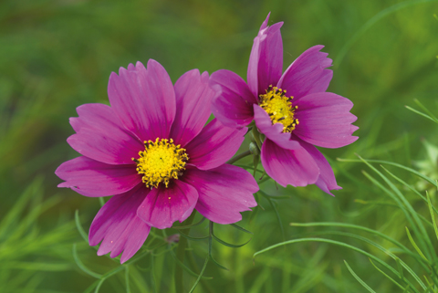Annual cosmos is ideal for filling gaps in borders