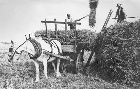 Unloading the sheaves onto the rick. Burton Bradstock, 1930s.