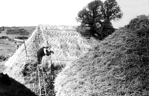 Harvest Home: the rick being thatched. Burton Bradstock, 1930s.