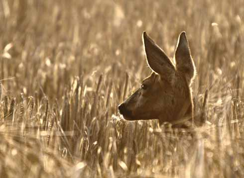 A roe deer backlit by the evening sun. Taken during August in a barley field near my home.