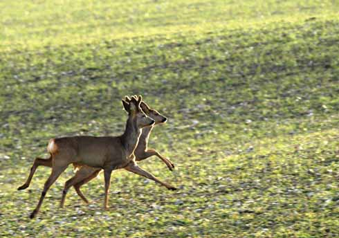 A really beautiful pair of roe deer. This shot was taken just as the sun was about to go down.