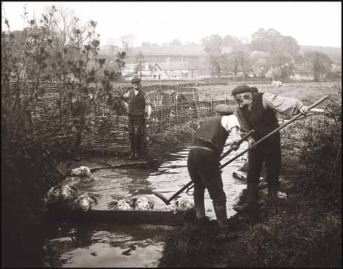 Steel cages and concrete baths may have replaced willow hurdles and a hole dug in the ground, but the process of sheep-dipping is still clearly recognisable, here at Bradford Peverell