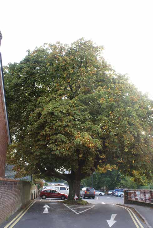 Miss Orman or Ormonds tree, once in the school playground
