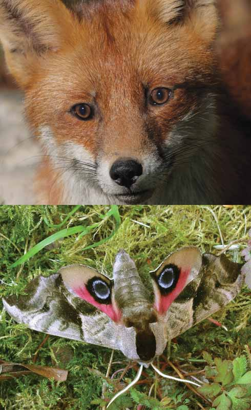 This fox's head and butterfly may seem completely different at first glance, but birds and other predators may see differently to humans