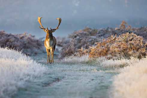 Fallow deer were introduced to Britain by the Normans. One of the best places to spot them is on Powerstock Common, a Dorset Wildlife Trust reserve near Bridport.