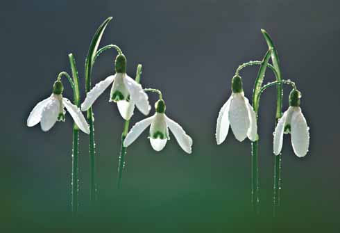 Snowdrops are one of the first harbingers of spring. The small village of Compton Valence near Dorchester is famous for the fine displays that line both sides of the road.