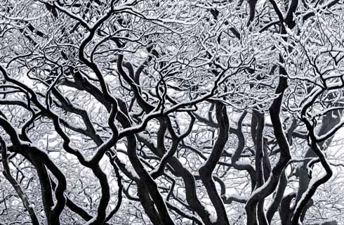 These beech boughs were photographed on Beaminster Down after a light covering of snow