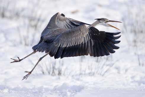 Grey herons are found around both freshwater rivers and lakes and along the coast. They feed on a variety of prey including fish, frogs, insects, small mammals and young birds.